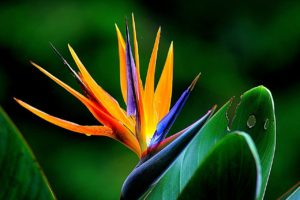 Kauai Bird of Paradise