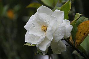 Exotic Gardenia