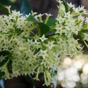 Night Blossoming Jasmine