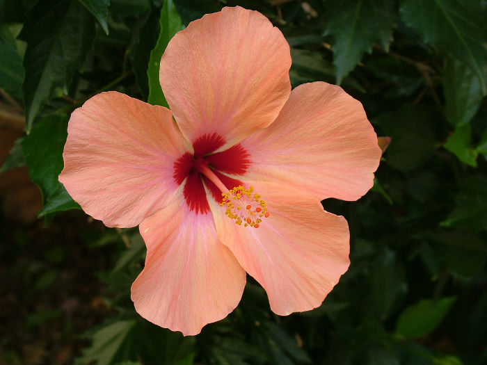 Kauai Pink Hibiscus Exotic Flower