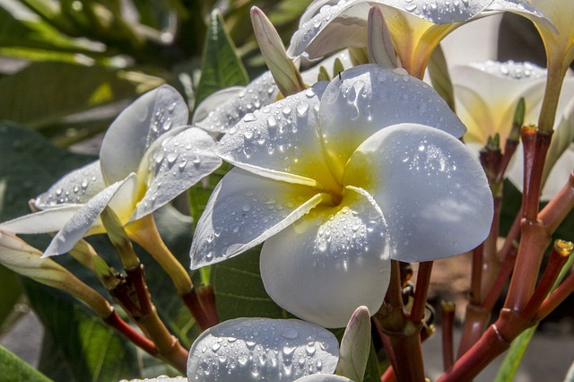 Plumeria Flower on Kauai