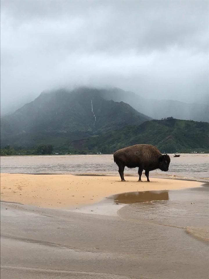 Buffalo on Hanalei Bay