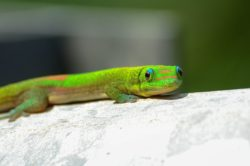 Chameleon on Kauai