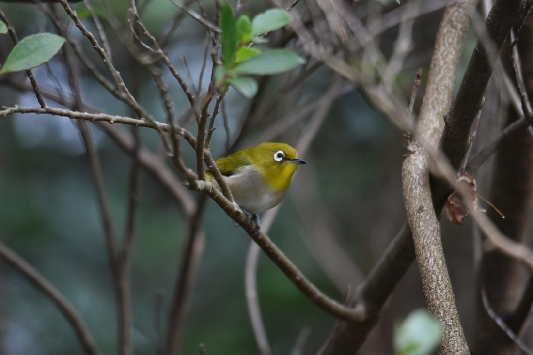 Japanese White Eye