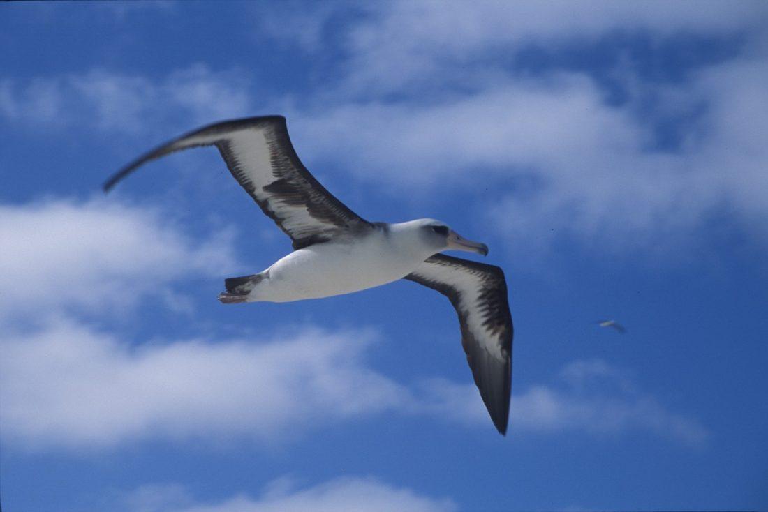 Laysan Albatross Kauai