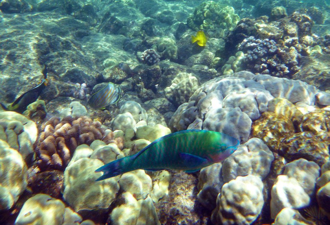 Kauai Rainbow Fish