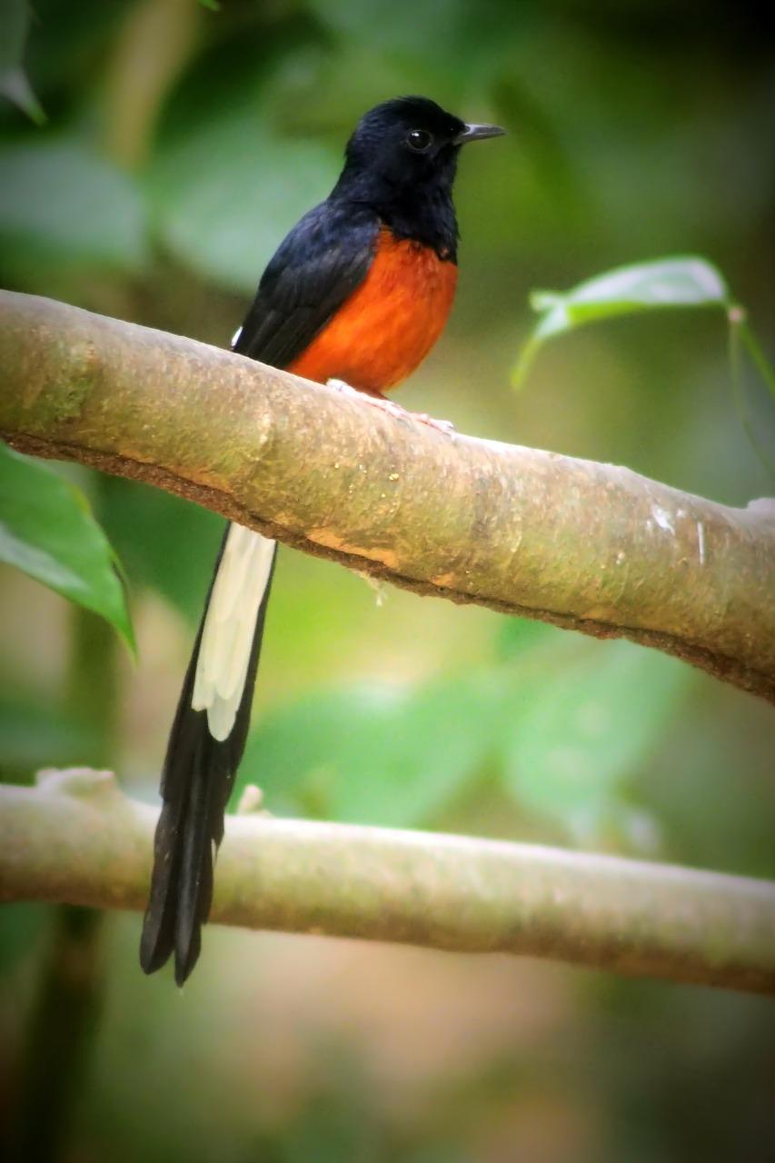 Kauai Shama Bird