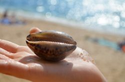 Cowrie shell on hand