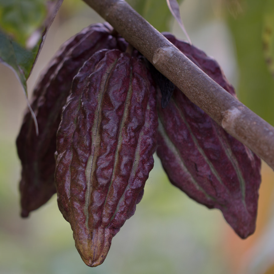 Cacao Pod on the tree