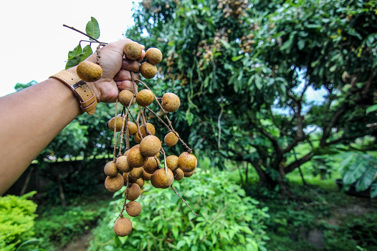 Longan fruit on tree