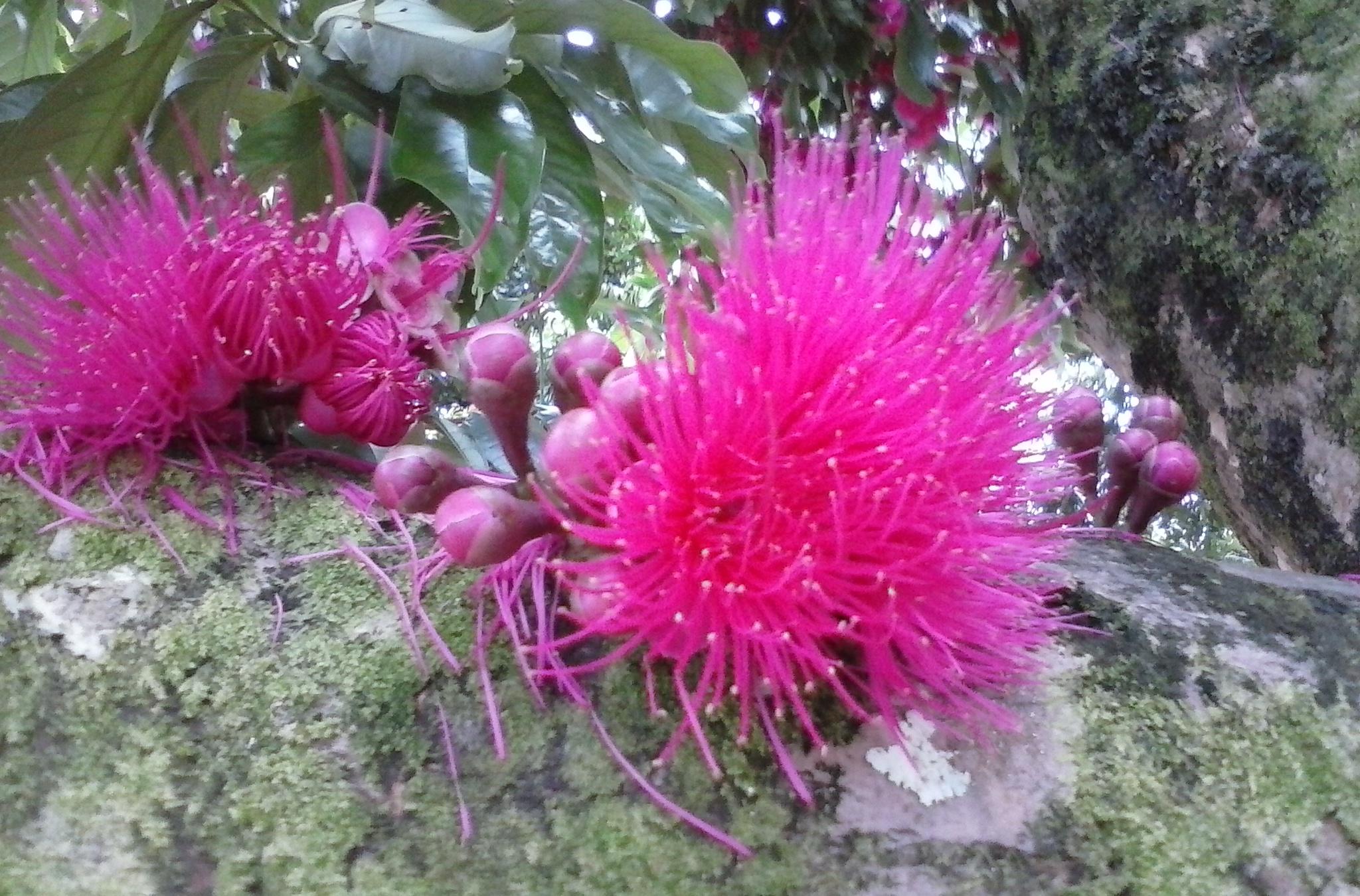 Pink blossom on Kauai
