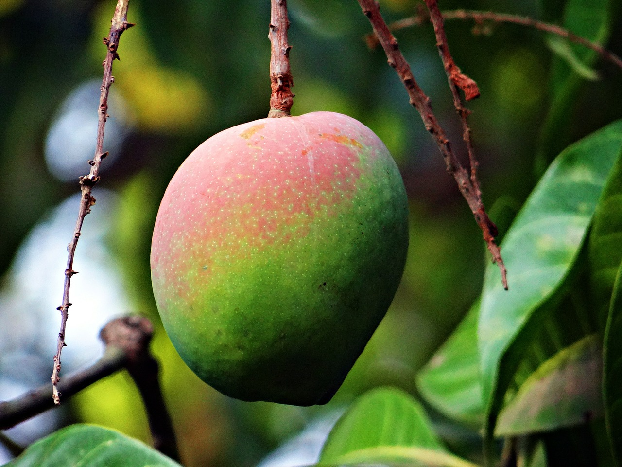 Mango on the tree